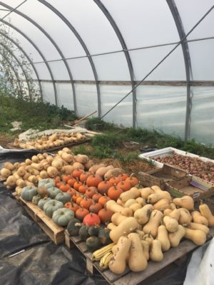 Big Pile o' Squash in the Greenhouse