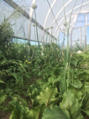 Greens in the greenhouse, worm's eye view